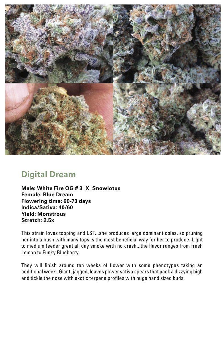 Digital Dream (Blue Dream x (White Fire OG # 3 X Snowlotus)) 12 Regular Seeds