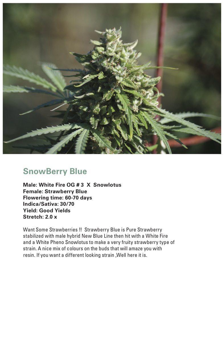 Snowberry Blue (Strawberry Blue x (White Fire OG #3 x Snowlotus)) 12 Regular Seeds
