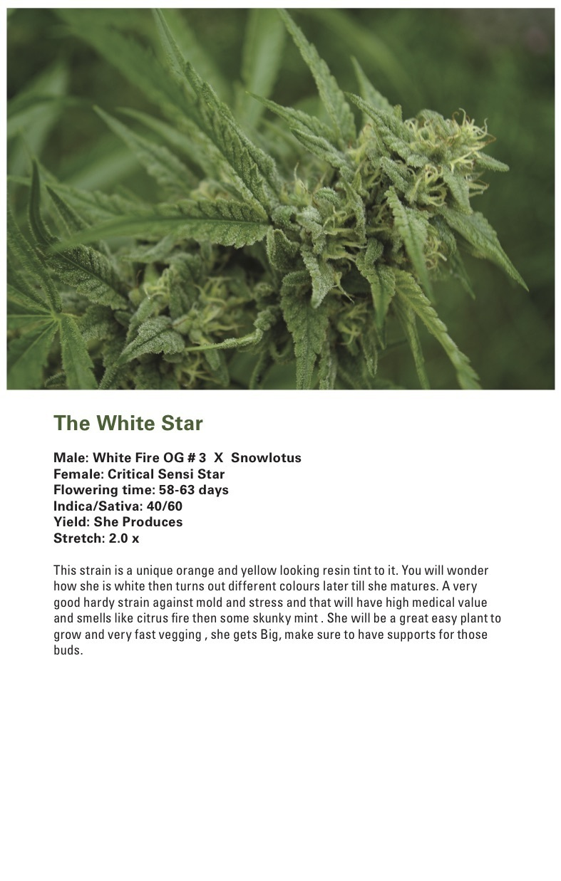 The White Star (Critical Sensi Star x [White Fire OG # 3 X Snowlotus]) 12 Regular Seeds