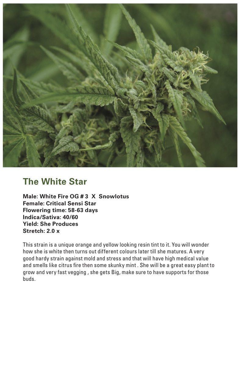 The White Star (Critical Sensi Star x [White Fire OG # 3 X Snowlotus]) 12 Regular Seeds