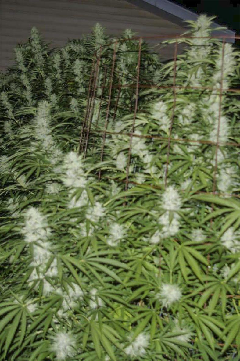 Snowfire Afghan Kush (Afghani #1 x (White Fire OG #3 x Snowlotus)) 12 Regular Seeds