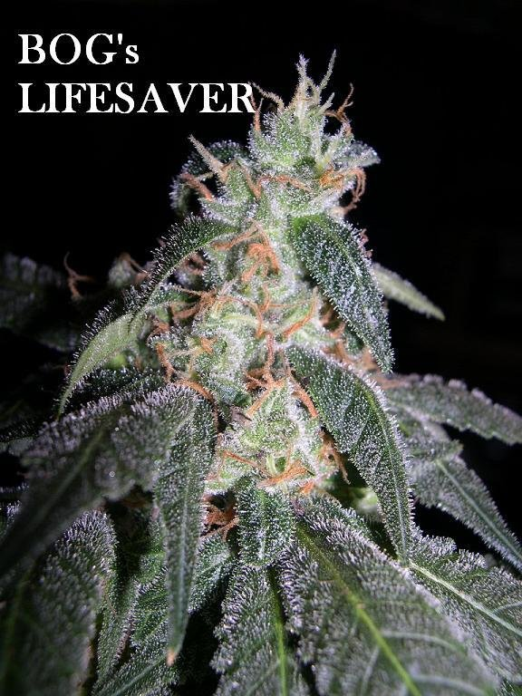 LifeSaver (BOG Bubble x Jacks Cleaner/Blueberry) 13 Regular Seeds