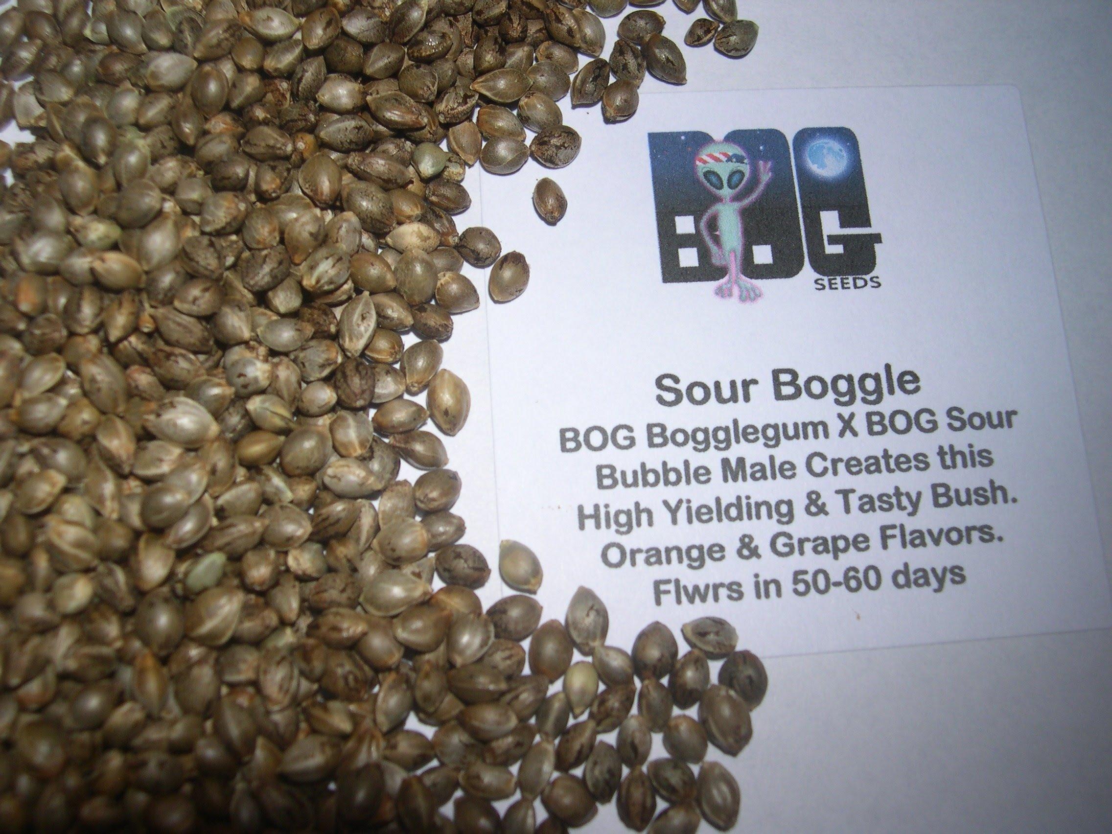 Sour Boggle (BOG Bogglegum X BOG Sour Bubble) 13 Regular Seeds