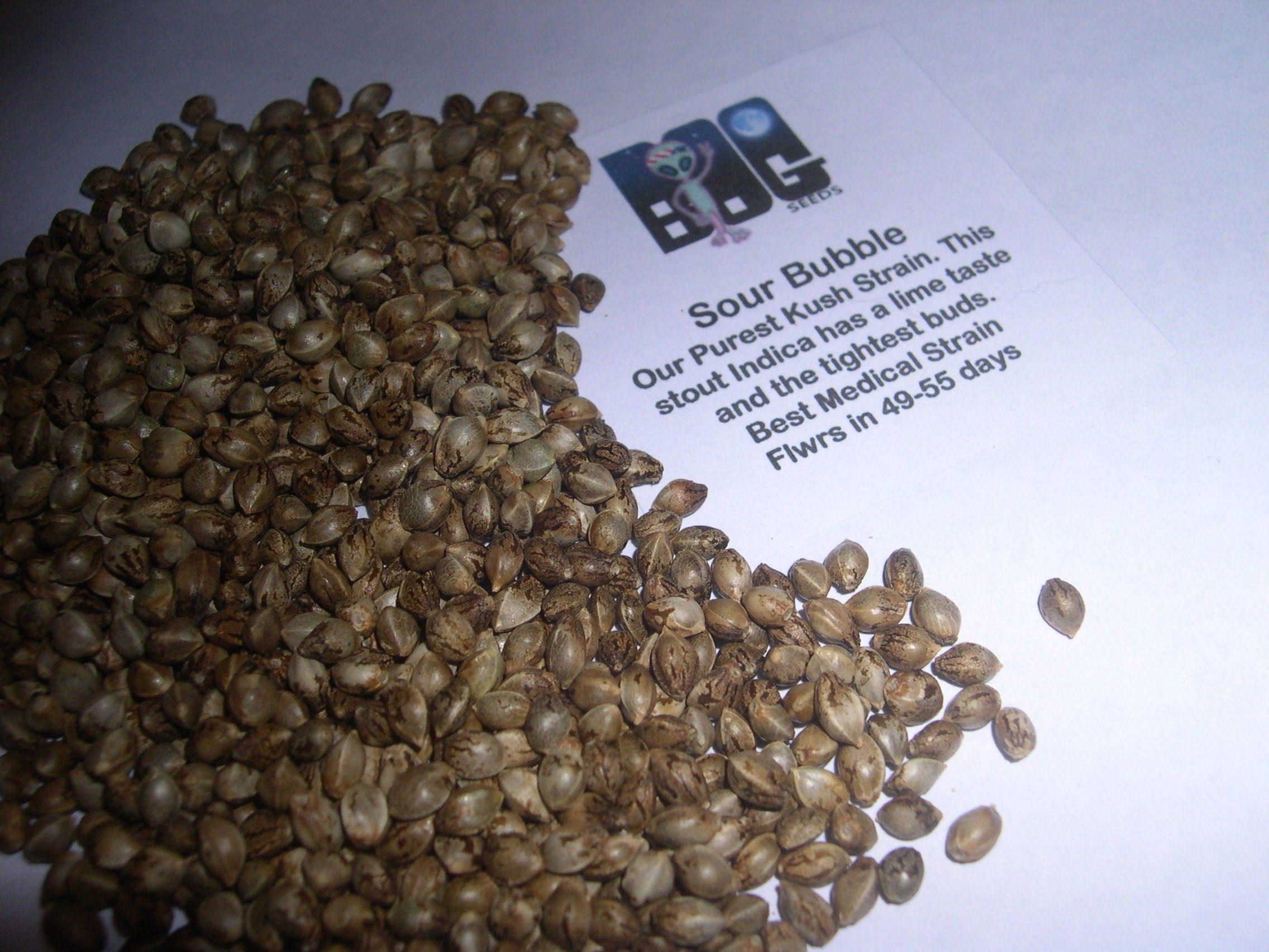 Sour Bubble 13 Regular Seeds