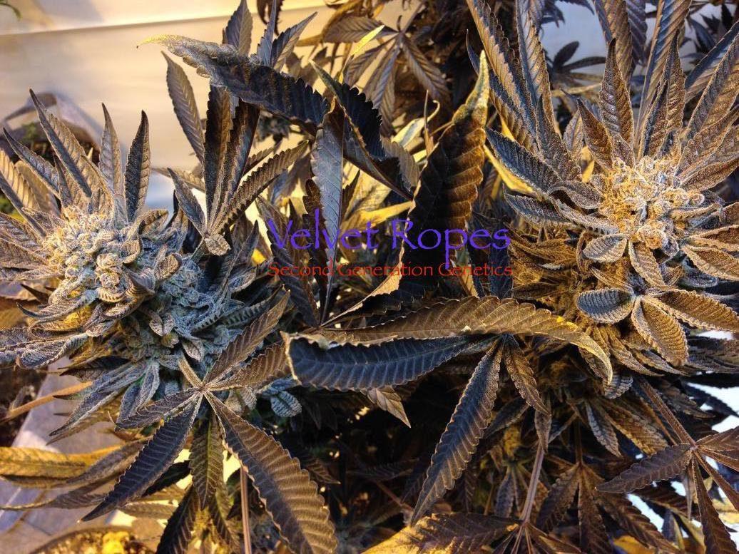 Velvet Ropes (Sacajawea #6 x F4 Blueberry) 14 Regular Seeds