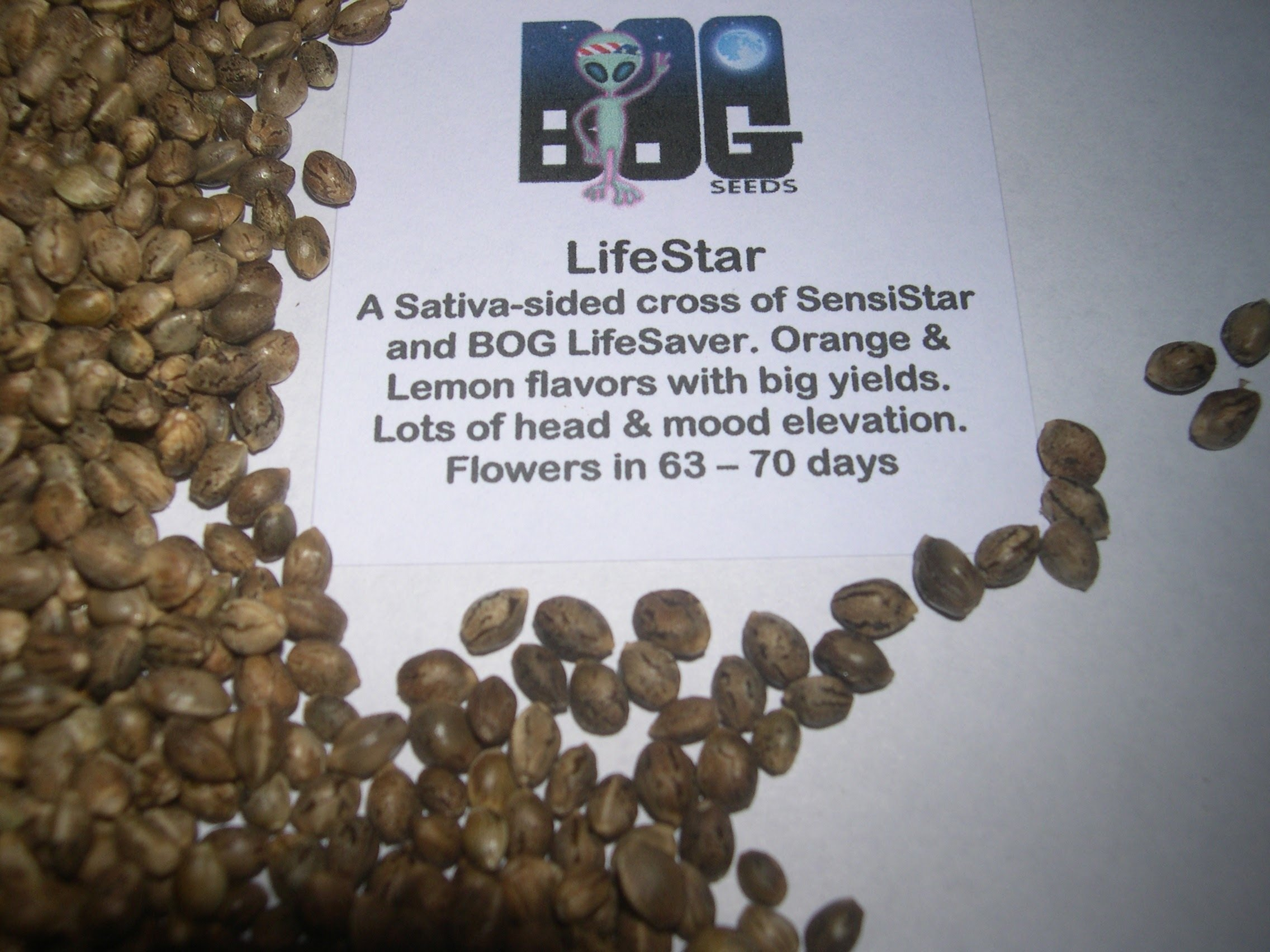 LifeStar (BOG LifeSaver x SensiStar) 13 Regular Seeds