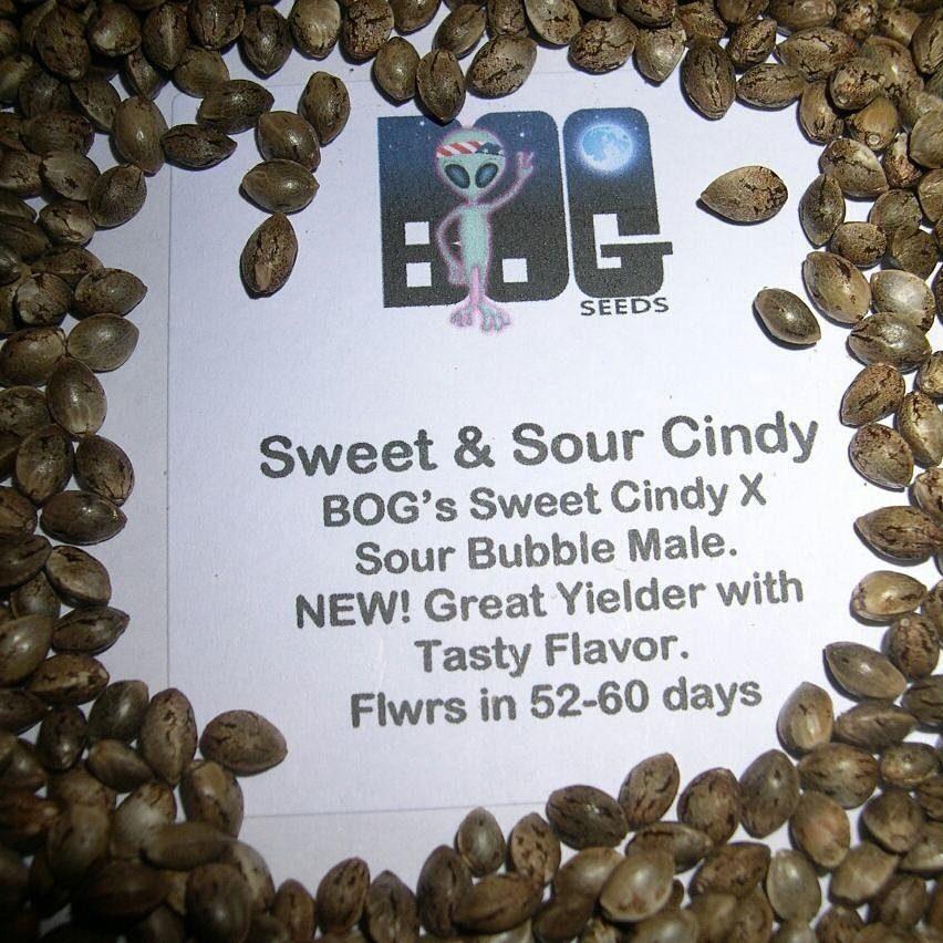 Sweet & Sour Cindy (BOG Sweet Cindy x BOG Sour Bubble) 13 Regular Seeds