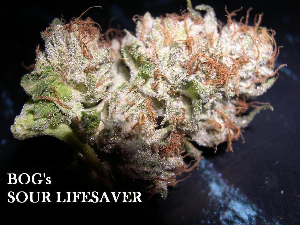 Sour Lifesaver (BOG Lifesaver x BOG Sour Bubble) 13 Regular Seeds