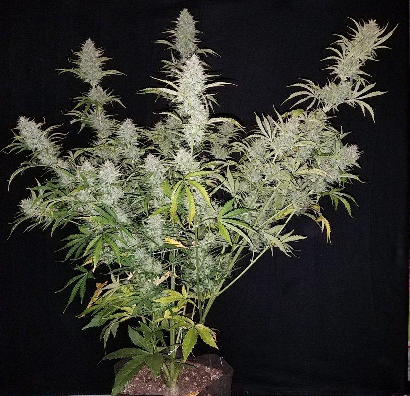 Bubba Trouble Auto (Hubbabubbasmelloscope x White Widow XXL x Bubba Kush Auto) 3 Feminized Autoflower Seeds