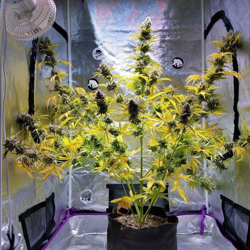 Bubba Trouble Auto (Hubbabubbasmelloscope x White Widow XXL x Bubba Kush Auto) 5 Feminized Autoflower Seeds
