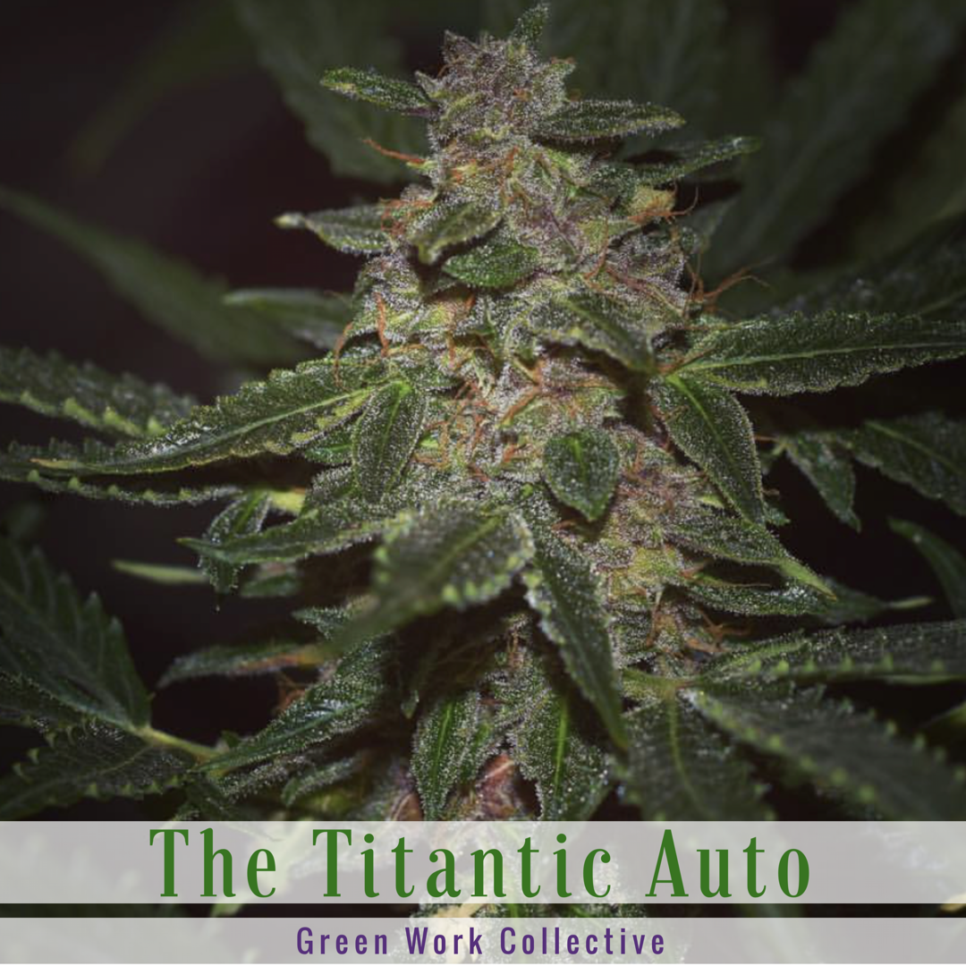 The Titanic Autoflower (Diesel x Deep Sea Creature) 7 Regular Autoflower Seeds