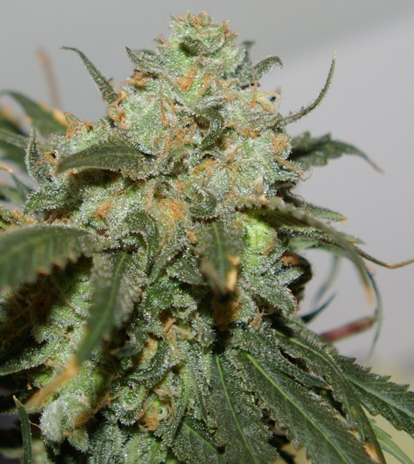 Creamy Berry Blue (Blueberry OG #3/Cookies & Cream x Snowberry Blue) 12 Regular Seeds