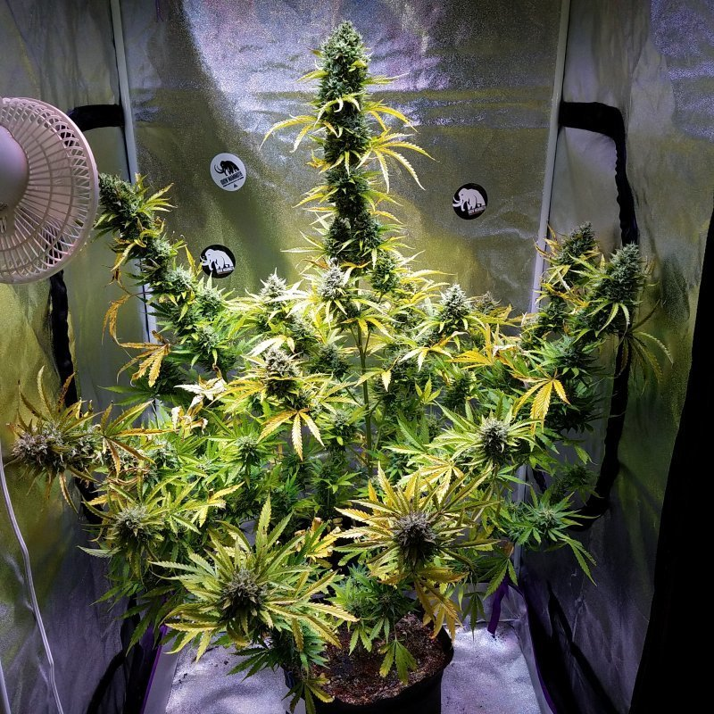 Witch Doctor Auto (Bubba Kush Auto x Bubba Kush Auto) 3 Feminized Seeds