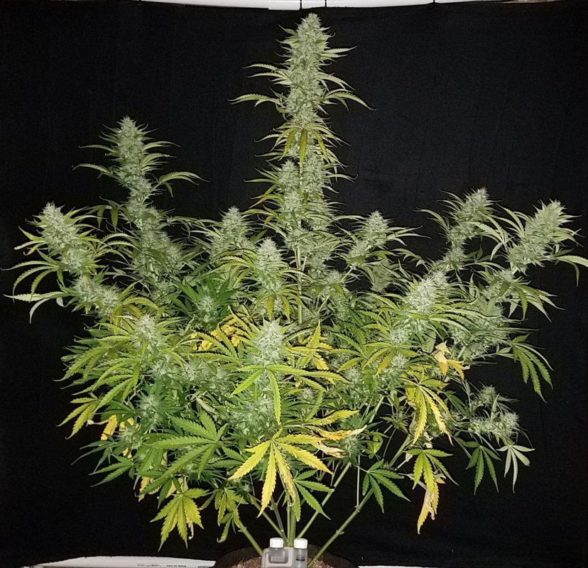Witch Doctor Auto (Bubba Kush Auto x Bubba Kush Auto) 5 Feminized Seeds