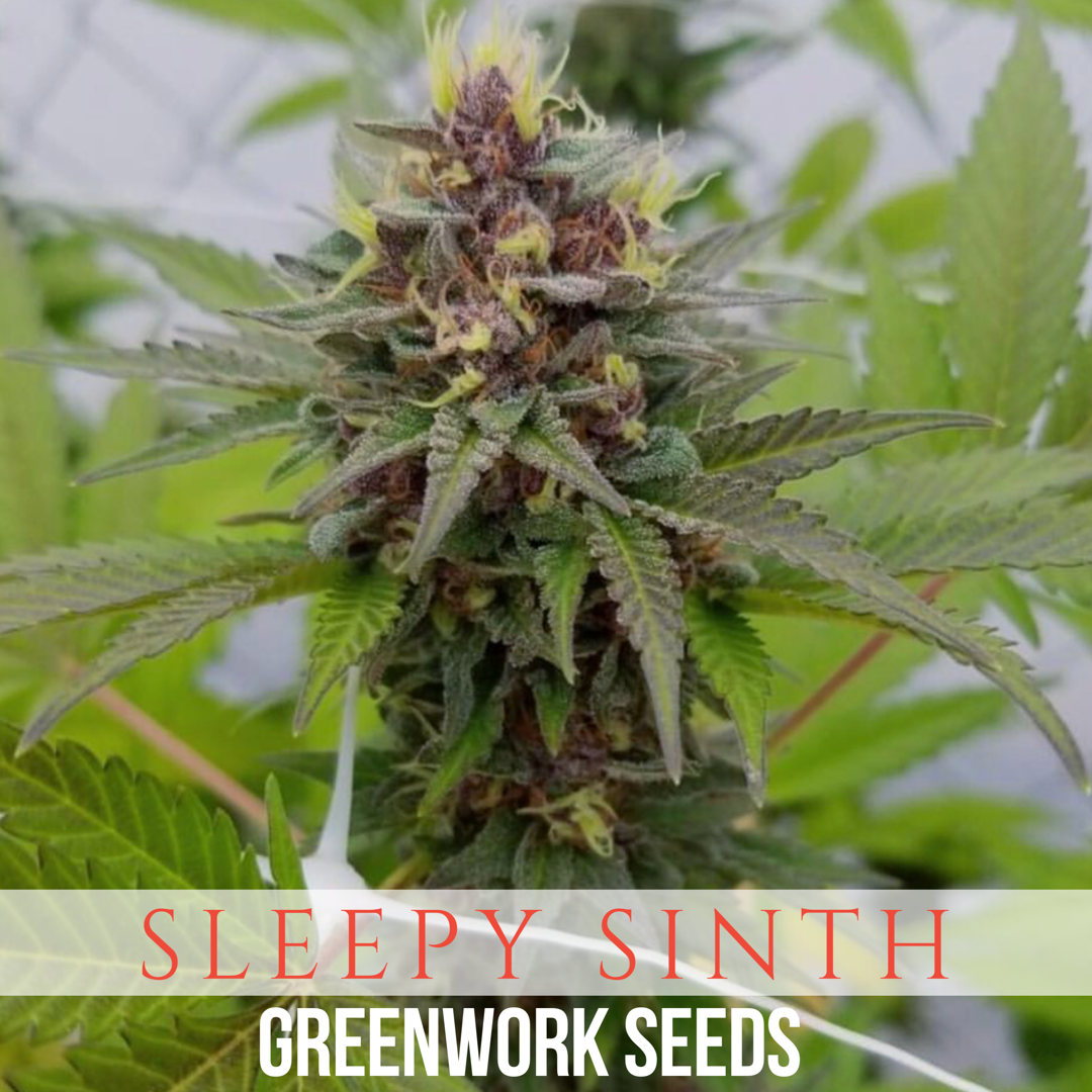 Sleepy Sinth (Jager x Pink Rose) 7 Regular Seeds