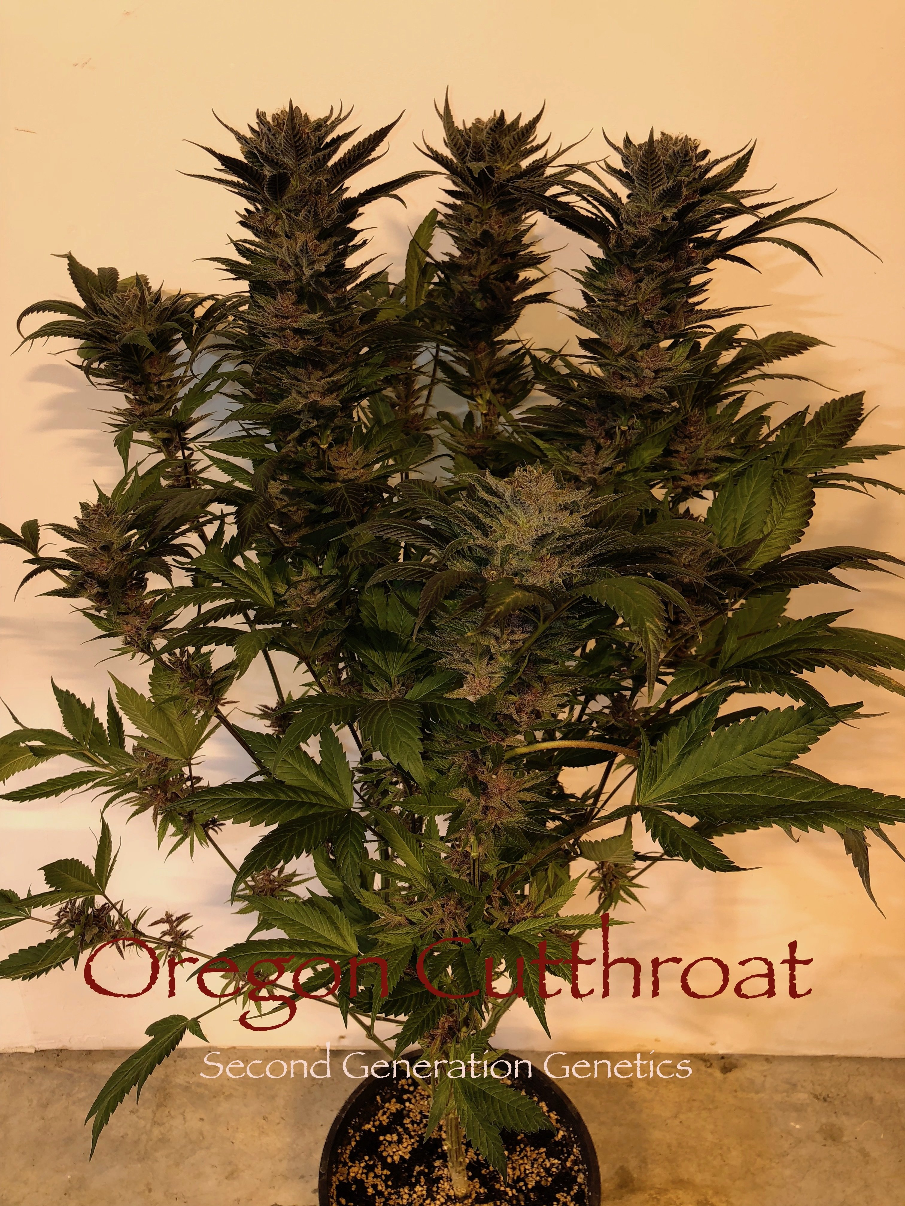 Oregon Cutthroat (Black Rose #3 x F4 Blueberry) *LIMITED EDITION* 10 Regular Seeds