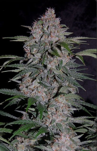 Strawberry Nuggets F4 Auto (Sour Strawberry Kush x 24 Carat F3) 7 Feminized Seeds