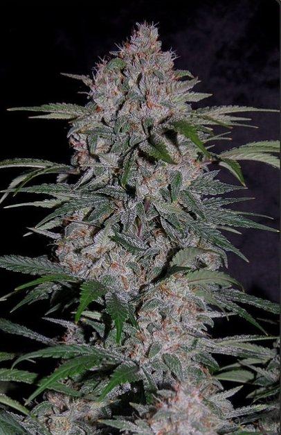 Strawberry Nuggets F4 Auto (Sour Strawberry Kush x 24 Carat F3) 7 Feminized Seeds