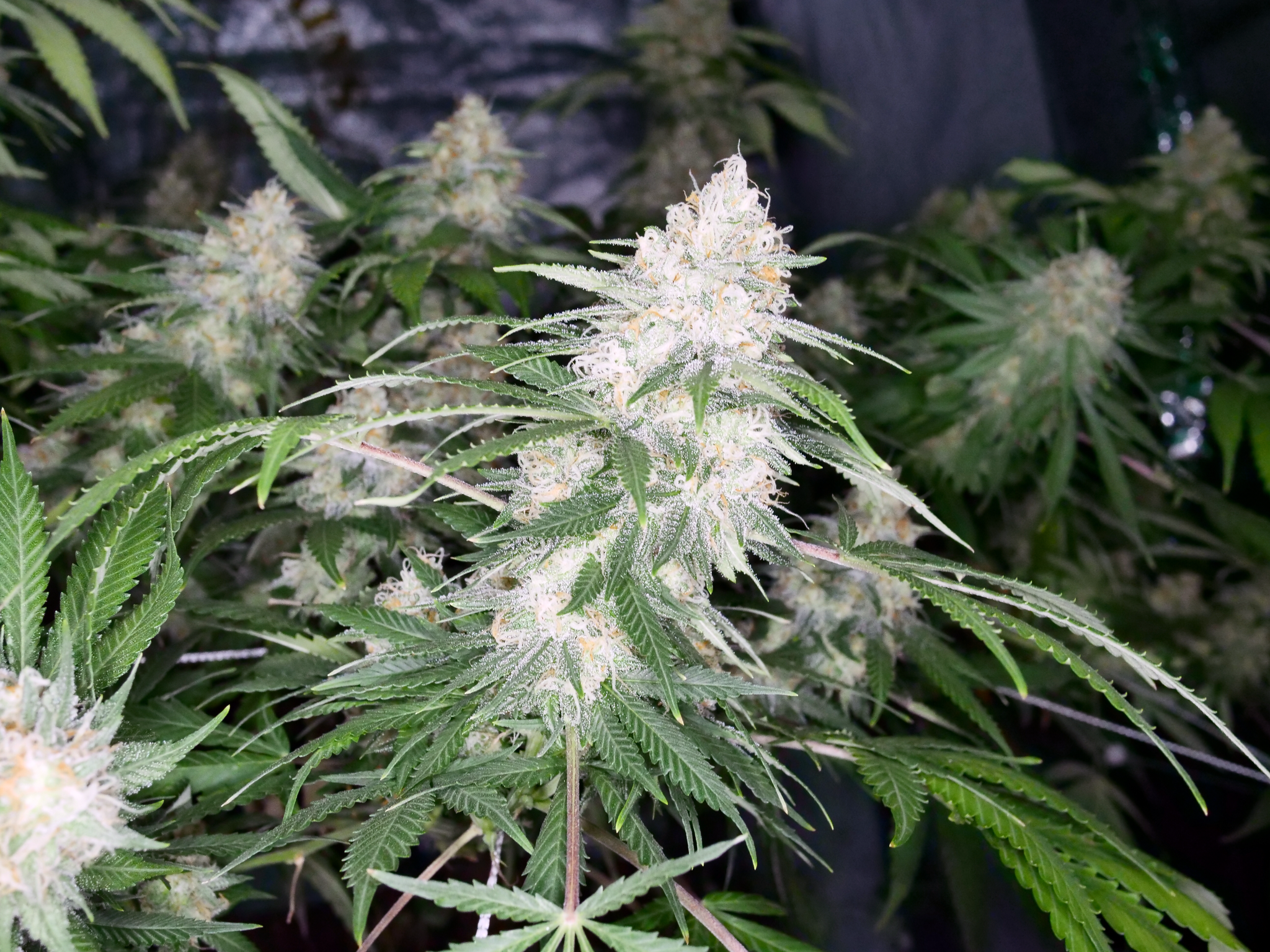 Eastcoasterlamb (Mr. E x 90's Lambsbread Jamaican Landrace Sativa) 12 Regular Seeds