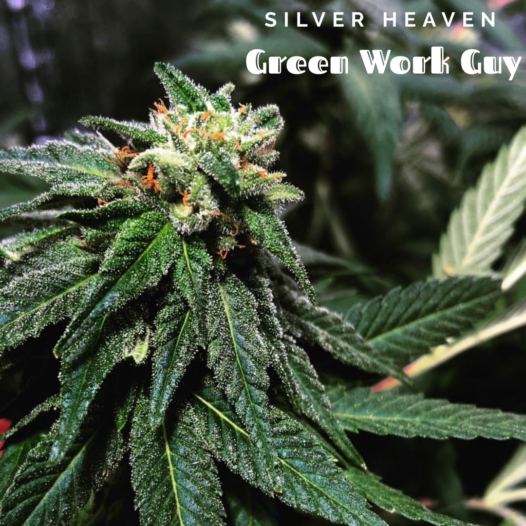 Silver Heaven F1  (Super Silver Haze x DJ Short Blue Heaven) 7 Regular Seeds