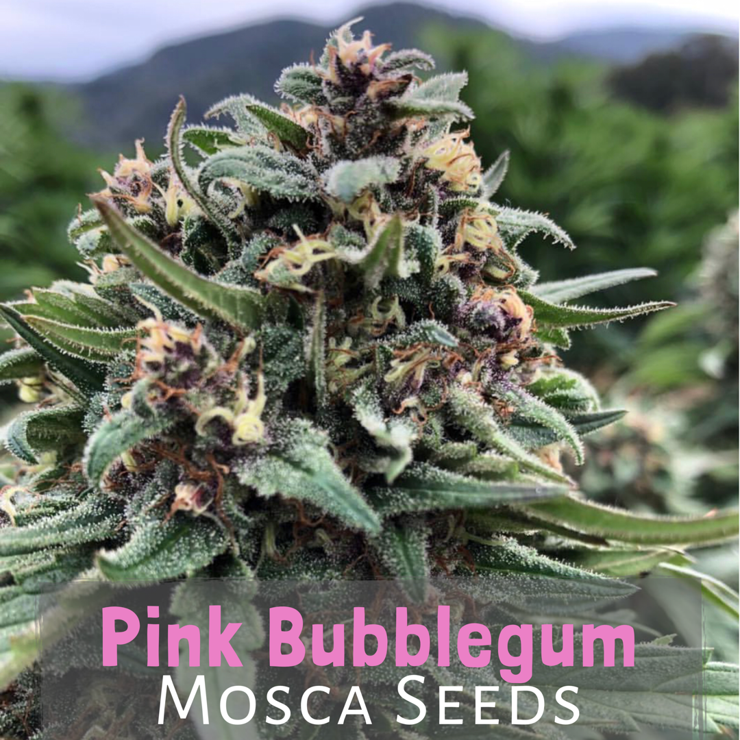Pink Bubblegum (Indiana Bubble Gum x Pink 2.0) 10 Regular Seeds