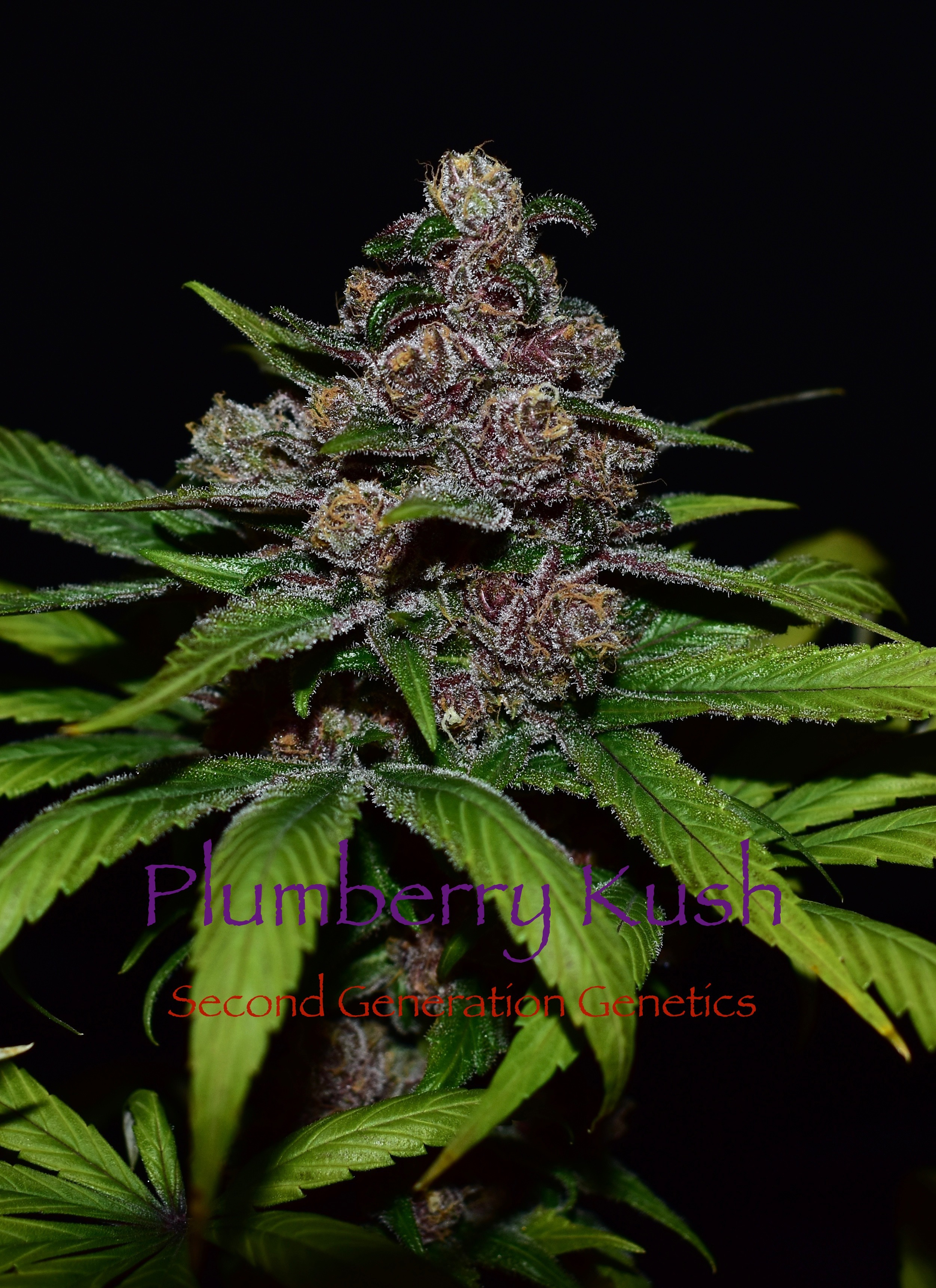 Plumberry Kush (Purple Unicorn x F4 Blueberry) 14 LIMITED EDITION Regular Seeds