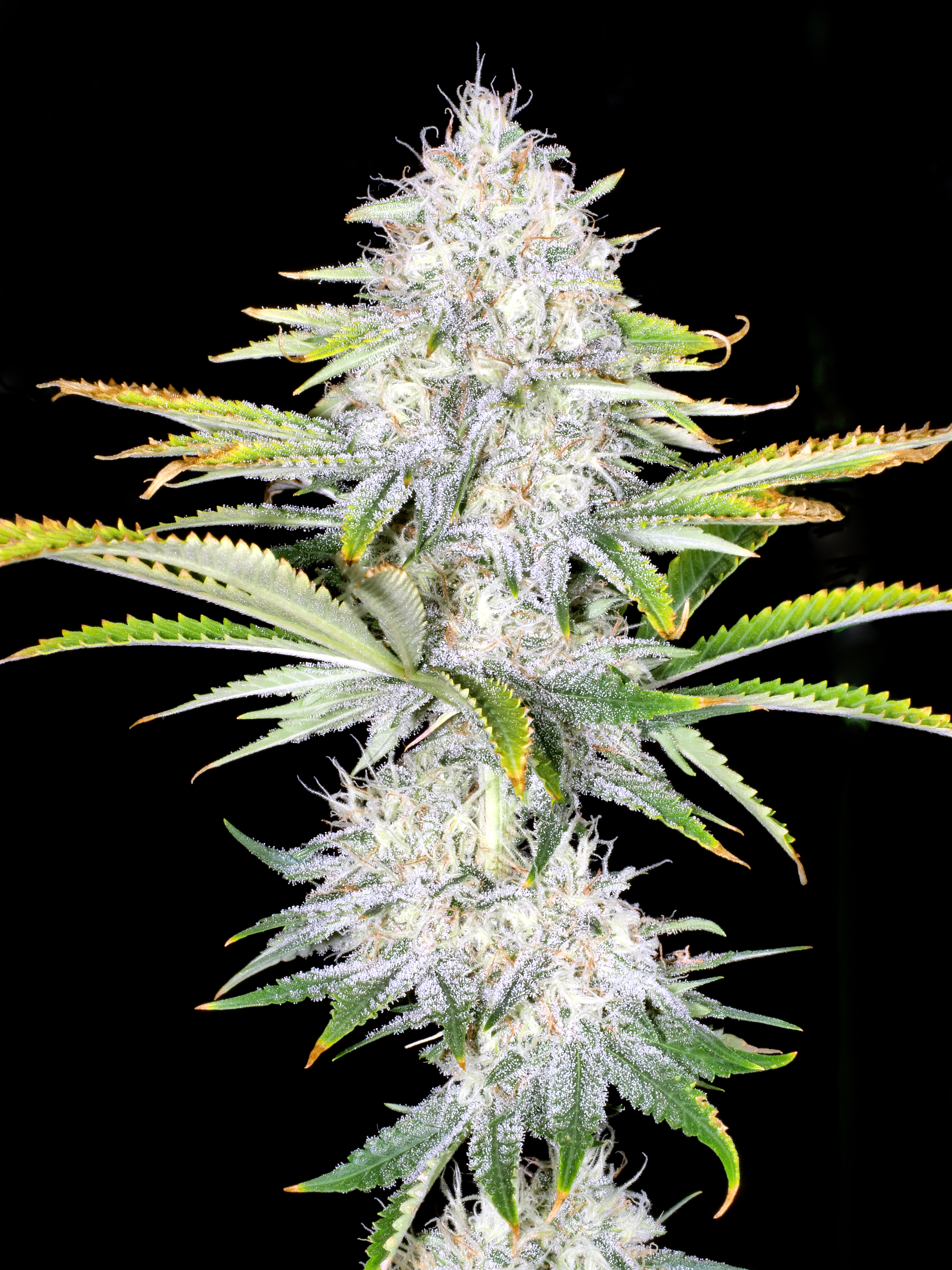 Mr E Pupil (Mr. E x Star Pupil) 6 Feminized Seeds