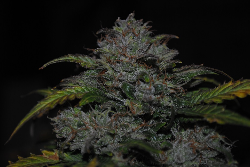 JEM F9 Auto 10 Regular Autoflowering Seeds