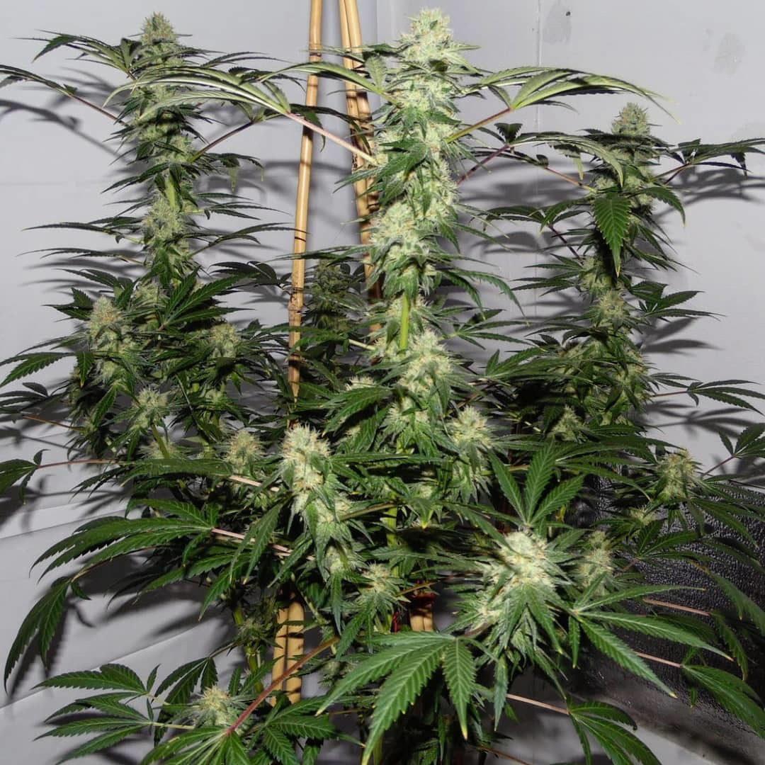 Super Silver Indica (Super Silver Haze Jd Short Cut x Sleeping Iraqi) 10 Regular Seeds