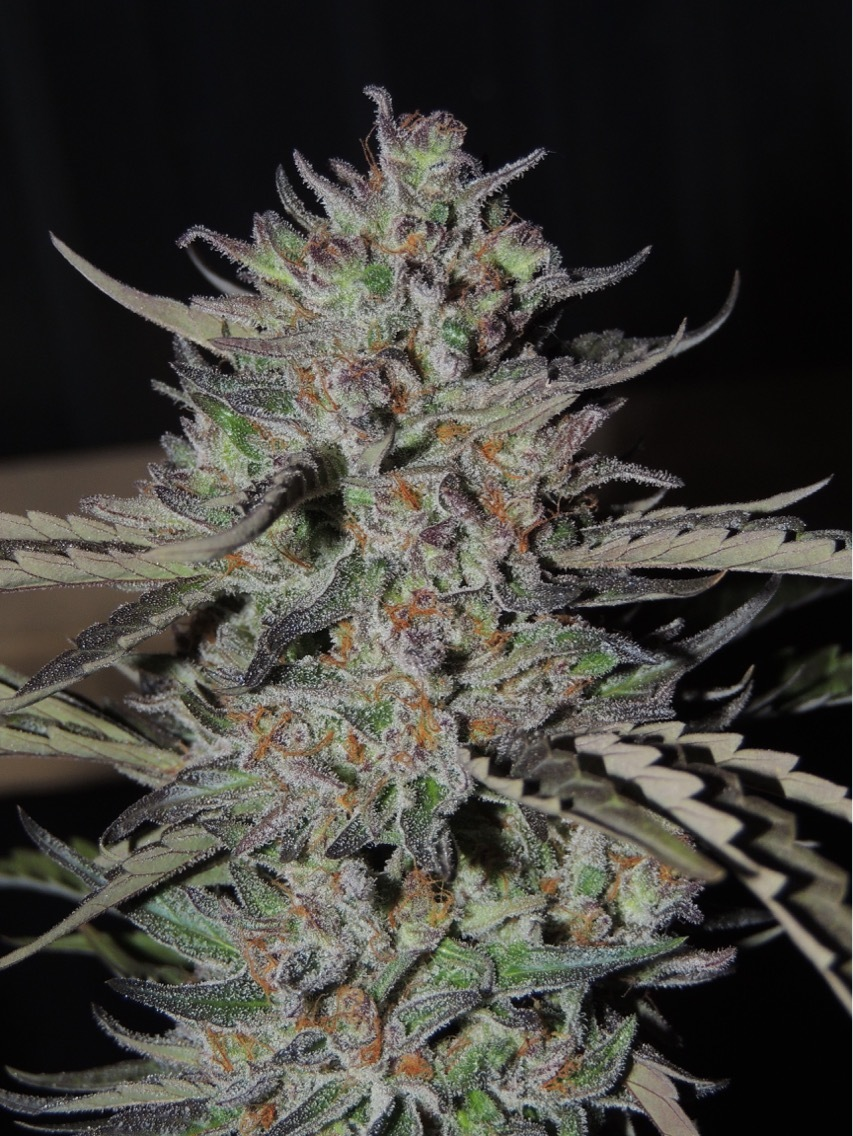 Dr. Time (TimeQueen x Doctor Who) 11 Regular Seeds