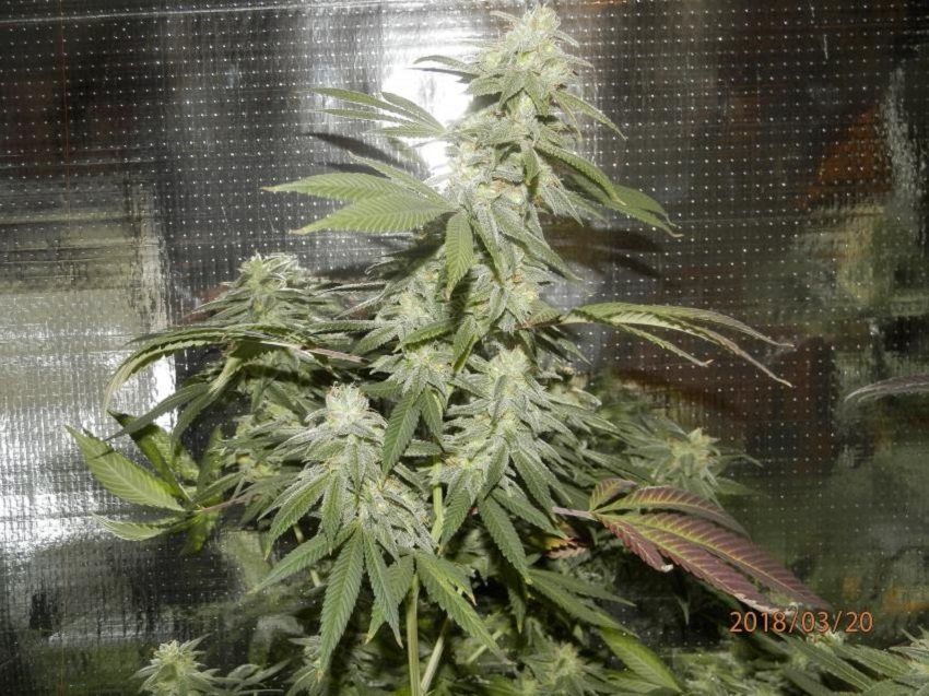 Chocolate Diesel S1 10 Feminized Seeds