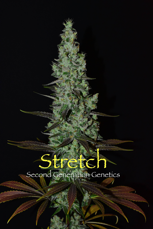 Stretch (Bandaid Haze x DJ Short F4 Blueberry) 14 Regular Seeds