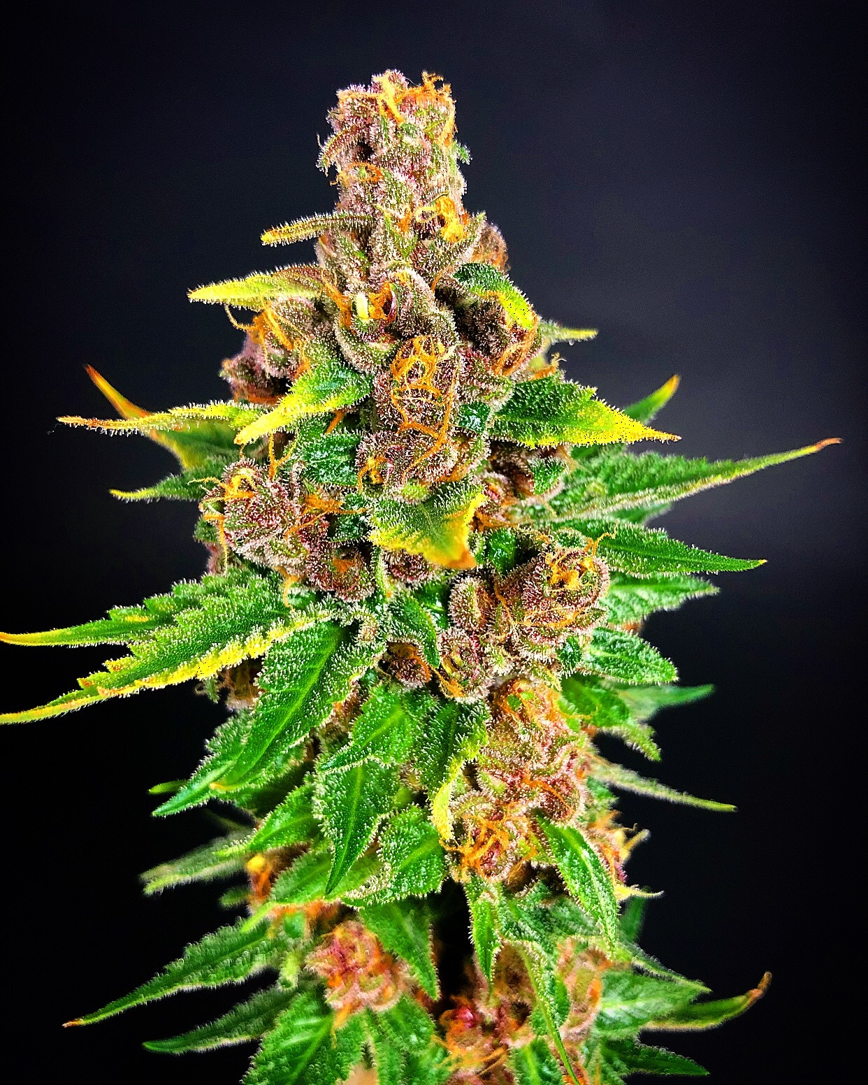 Platinum Soul (Dragon Soul x Pink Platinum) 7 Regular Seeds