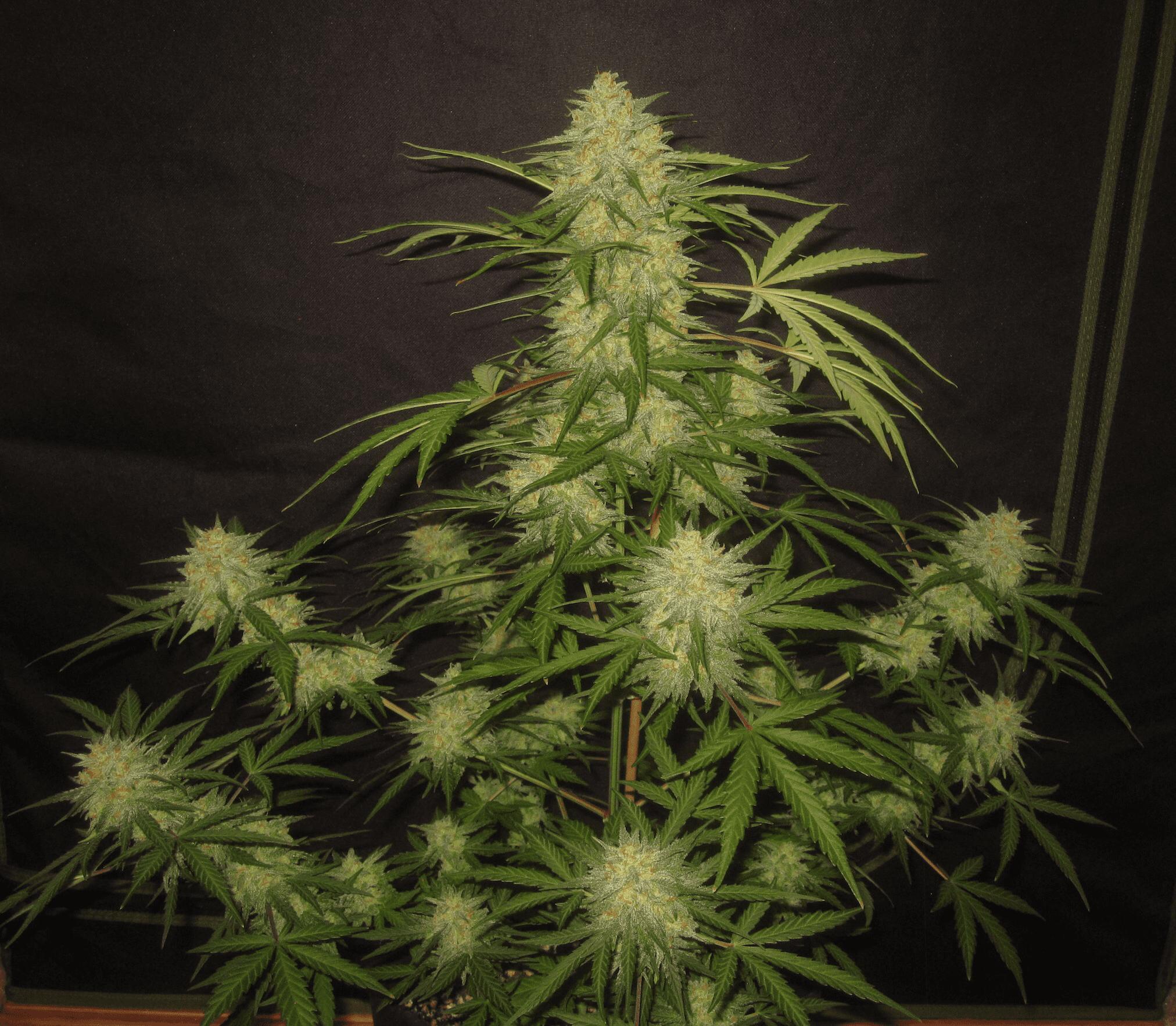 Alpha Wave (Cognition Amplifier f4 Auto [White Widow XXL x Zapotec] x Nami [Bum Wine x Witch Doctor]) 5 Feminized Autoflower Seeds